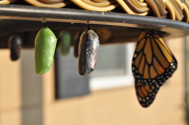 cocoon Transformation Pictures Butterfly Images growth Nature Images Website Backgrounds process wing growing metamorphosis chrysalis change blog emerge caterpillar moth wonder natural bug insect